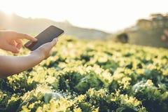 Fazendeiro da agricultura que verifica o touchpad na couve Fram de Nappa no verão fotografia de stock royalty free