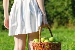 Fazendeiro da mulher que guarda a cesta das maçãs no jardim Fotografia de Stock