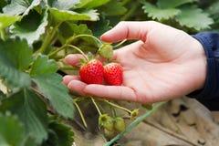 Fazendeiro da mulher que guarda o fruto da morango essa suspensão da planta foto de stock royalty free