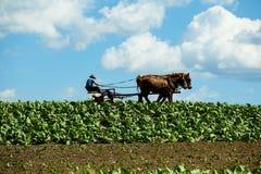 Fazendeiro de Amish com os cavalos no campo de cigarro fotografia de stock