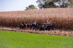 Fazendeiro de Amish que colhe o milho foto de stock
