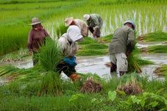Fazendeiro do arroz Imagem de Stock