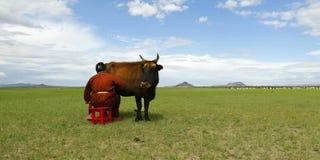 Fazendeiro do Mongolian com a vaca na pastagem de Mongólia imagens de stock royalty free