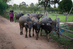 Fazendeiro e búfalos Foto de Stock