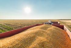 Fazendeiro em campos de milho Fotografia de Stock