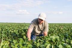 Fazendeiro em campos do feijão de soja Fotos de Stock Royalty Free