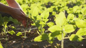 Fazendeiro em um campo novo do girassol Close-up das mãos e das folhas filme
