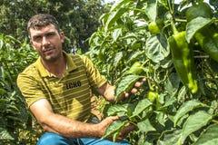 Fazendeiro em uma plantação da pimenta verde Fotos de Stock Royalty Free