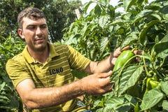 Fazendeiro em uma plantação da pimenta verde Foto de Stock
