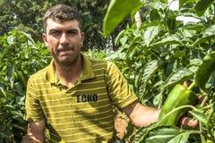 Fazendeiro em uma plantação da pimenta verde Fotos de Stock