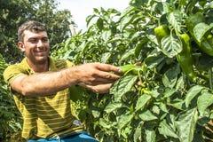 Fazendeiro em uma plantação da pimenta verde Fotografia de Stock