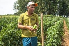 Fazendeiro em uma plantação da pimenta verde Imagens de Stock Royalty Free