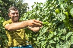 Fazendeiro em uma plantação da pimenta verde Imagem de Stock
