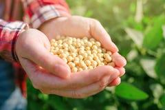 Fazendeiro fêmea com o feijão de soja do od do punhado no campo cultivado fotografia de stock