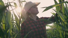 Fazendeiro fêmea em um campo de milho Trabalho agrícola da colheita em um campo de milho filme