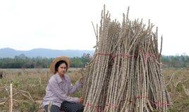 Fazendeiro fêmea que senta-se com membro das tapiocas que cortou a pilha junto na exploração agrícola fotos de stock royalty free