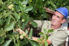 Fazendeiro idoso com árvore de noz imagens de stock