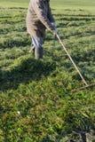 fazendeiro idoso que ajunta a grama foto de stock