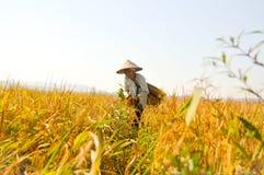 Fazendeiro indonésio em campos amarelos do arroz Imagem de Stock