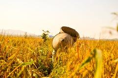 Fazendeiro indonésio em campos de almofada amarelos Imagens de Stock Royalty Free