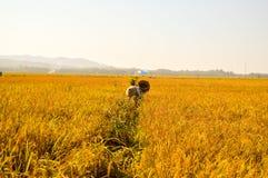Fazendeiro indonésio em campos dourados do arroz Fotografia de Stock