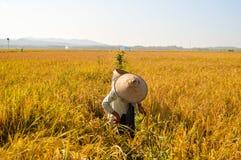 Fazendeiro indonésio que trabalha em campos do arroz Imagem de Stock Royalty Free