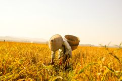 Fazendeiro indonésio que trabalha em campos dourados do arroz Fotos de Stock
