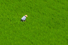 Fazendeiro indonésio que trabalha em um campo do arroz Fotos de Stock Royalty Free