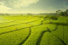 Fazendeiro masculino que anda no campo do arroz no crepúsculo fotografia de stock