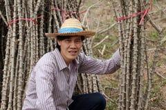 Fazendeiro masculino Sitting no meio do membro das tapiocas que cortou a pilha junto na exploração agrícola imagem de stock