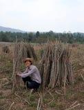 Fazendeiro masculino Sitting no meio do membro das tapiocas que cortou a pilha junto na exploração agrícola fotografia de stock