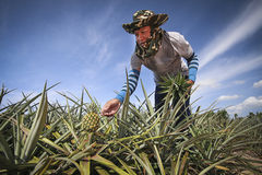 Fazendeiro na exploração agrícola do abacaxi Fotografia de Stock Royalty Free