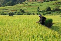 Fazendeiro no arroz 'paddy', Tailândia Imagens de Stock Royalty Free
