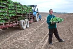 Fazendeiro no campo com os seedlings do repolho Imagem de Stock
