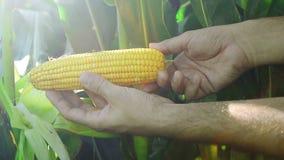 Fazendeiro no campo de milho agrícola cultivado que examina a espiga de milho nova antes da estação da colheita vídeos de arquivo