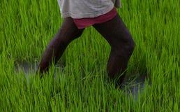 Fazendeiro no campo do arroz Imagem de Stock