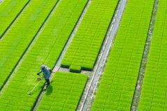 Fazendeiro no campo verde do arroz imagem de stock