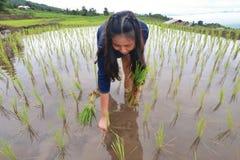 Fazendeiro no terraço do arroz Foto de Stock