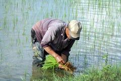 Fazendeiro no terraço Paddy Field do arroz de Ubud Foto de Stock Royalty Free