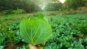 Fazendeiro novo observando o vegetal de algumas cartas arquivado no telefone celular, exploração agrícola esperta moderna orgânic fotos de stock