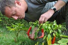 Fazendeiro novo que cultiva pimentas Fotos de Stock