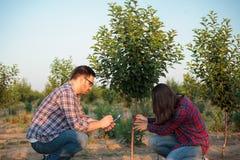 Fazendeiro novo sério e agrônomo fêmeas e masculinos que inspecionam a árvore de fruto transplantada em um grande pomar imagens de stock royalty free