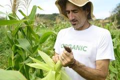 Fazendeiro orgânico que mostra o milho dentro da plantação Foto de Stock