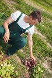 Fazendeiro orgânico que classifica beterrabas Imagens de Stock Royalty Free