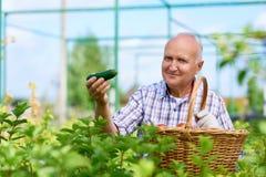 Fazendeiro orgulhoso Presenting Ripe Cucumbers imagens de stock