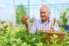 Fazendeiro orgulhoso Presenting Ripe Tomatoes fotos de stock