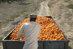 Fazendeiro Pushing Oranges Trailer no campo Fotografia de Stock Royalty Free