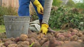 Fazendeiro que classifica batatas na cubeta no campo na exploração agrícola orgânica Conceito que cultiva, estilo de vida rural,  filme