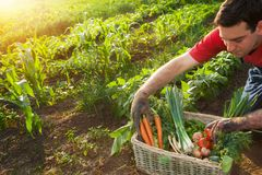 Fazendeiro que classifica vegetais na cesta Fotos de Stock Royalty Free
