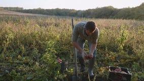 Fazendeiro que escava acima com um showel e que colhe batatas doces no campo vídeos de arquivo